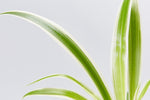 Spider plants hanging easy care online plants delivered
