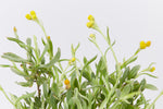 Soft silvery-grey foliage and papery yellow button flowers of the Chrysocephalum apiculatum