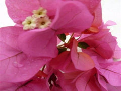 Bougainvillea Clifton Belle