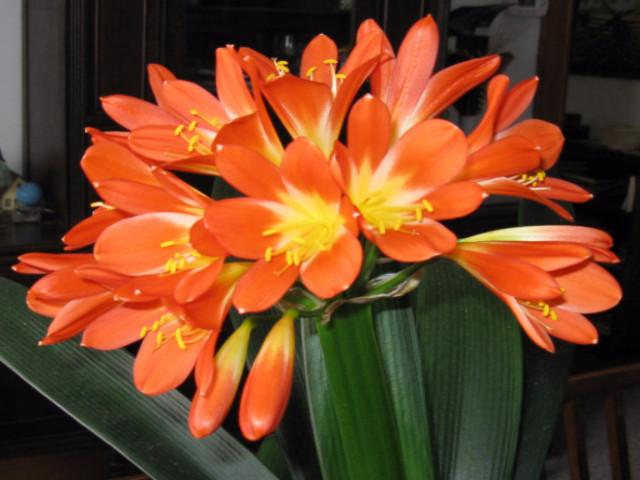 Buy Clivia online Australia -Fast and Free Shipping