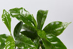 coffee plant | glossy green leaves