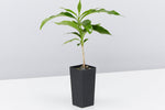 Coffea arabica | narrow stem with glossy green leaves
