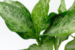 Foliage of the Dieffenbachia Memoria Corsii: large green leaves with white and darker green speckles