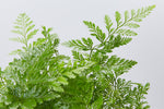 Rabbits Foot Fern | beautiful lace like green foliage