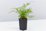 Rabbits Foot Fern | green delicate leaves with furry rhizomes on edges
