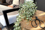 Dichondra Silver Falls 125mm Pot