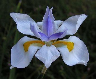 Dietes Vegeta Catenulata Dwarf | Plants in A Box | Buy Plants Online | Free Shipping Australia