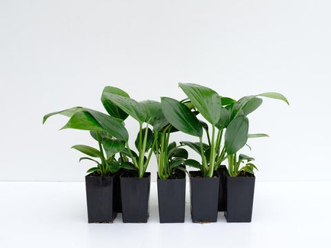 Rare Indoor Plants Premium Range Of Unusual Plants