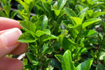 Leaf detail of Euonymus japonica Green Rocket with finger