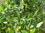 Syzygium Elegance - Lilly Pilly