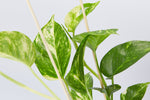 yellow and green foliage of the golden pothos - devils ivy