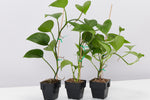 Epipremnum aureum Jade Pothos big glossy green hear shaped leaves