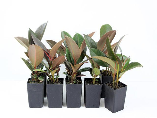 Ficus elastica | Rubber Plant | Buy Indoor Plants Online | Free Shipping | Plants in a Box