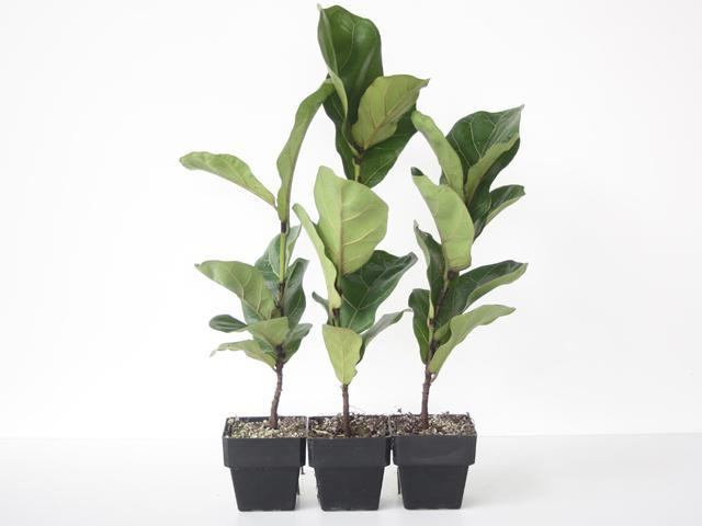 Assorted Ficus - Big Babes