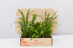 Mixed box of ferns delivered by the mail man