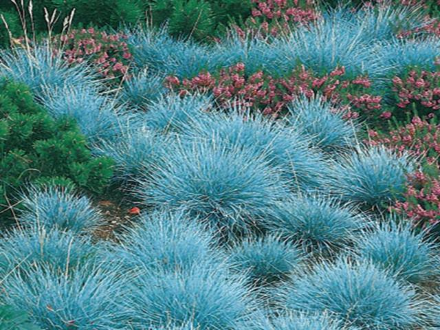 Festuca glauca ornamental grass fast growing buy for Fast growing ornamental grass