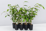 Ficus benjamina Evergreen glossy green pointed leaves with a bushy habit and slender trunk