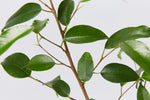 Close up of Ficus benjamina Evergreen green leaves