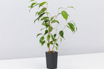 singular Ficus evergreen plant with green leaves