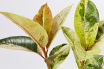Ficus Elastica Shivereana is a classy rubber plant with light-green and pinky-orange speckled leaves
