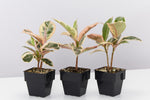 Ficus Elastica Tineke plants with leathery foliage in a mix of green, cream and pink