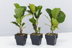 Ficus Lyrata bambino - Big Babes | big green leaves with deep veins