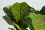 Ficus Lyrata bambino - Big Babes | dark green glossy leaves with yellow / red veins