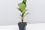 Fiddle leaf fig | big fiddle shaped dark green leaves