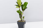 Fiddle leaf fig |  large heavily veined, violin-shaped leaves