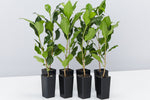 Ficus microcarpa hillii Flash | Slender trunk with glossy green leaves