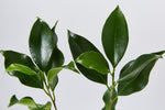Ficus microcarpa hillii Flash | beautiful shiny green foliage
