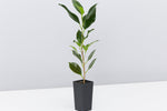 Ficus micricarpa hillii Flash | different shades of green with slender brown trunk