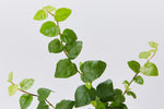 Creeping fig | small green shiny oval leaves easily cover fences and walls