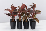 Ficus Elastica Ruby rubber houseplants with red, pink, cream and green variegated fleshy leaves