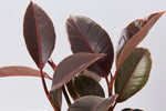 Ficus Elastica Ruby's fleshy ruby-coloured leaves. Variegated with cream and pink