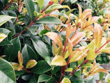 Syzygium Resilience - Plants in a Box