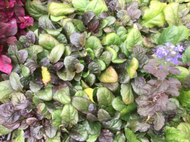 Ajuga reptans - Plants in a Box