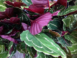 Calathea Jungle Rose Indoor Plants - Plants in a Box