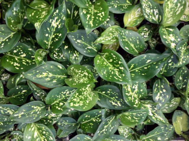 Shop Aglaonema | We have a great variety of Indoor Plants Online Australia