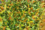 Shop Acmena smithii Fire Screen - Buy plants in bulk online