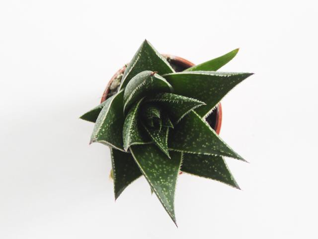 Gasteria morombe | Fast Growing Succulent | Succulent and Cacti | Rare Succulents for Collectors