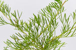 A close up view of the foliage of a Grevillea curviloba plant pictured against a white background