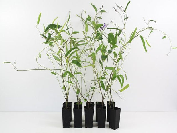 Hardenbergia violacea | Plants in a Box | Buy Plants Online | Free Shipping Australia