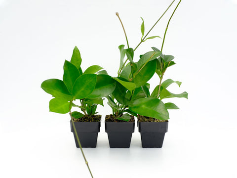Detoxifying Indoor Plants Safe For Cats Dogs Page 2 Plants In A Box