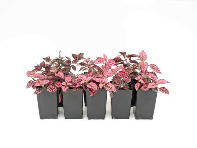 Hypoestes Confetti Compact Rose