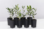 Helena Heritage Olive tress with beautiful elegant silver-green foliage