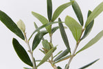 Silvery-green foliage of the Helena Heritage Olive Tree