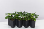 Hemionitis arifolia houseplants with dark green heart-shaped leaves on short fuzzy stems