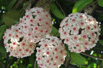 The pink and white flowers of the Hoya carnosa Pink 'Wax Plant in attractive ball shaped clumps