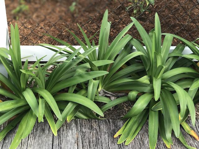 Agapanthus | Plants in a Box